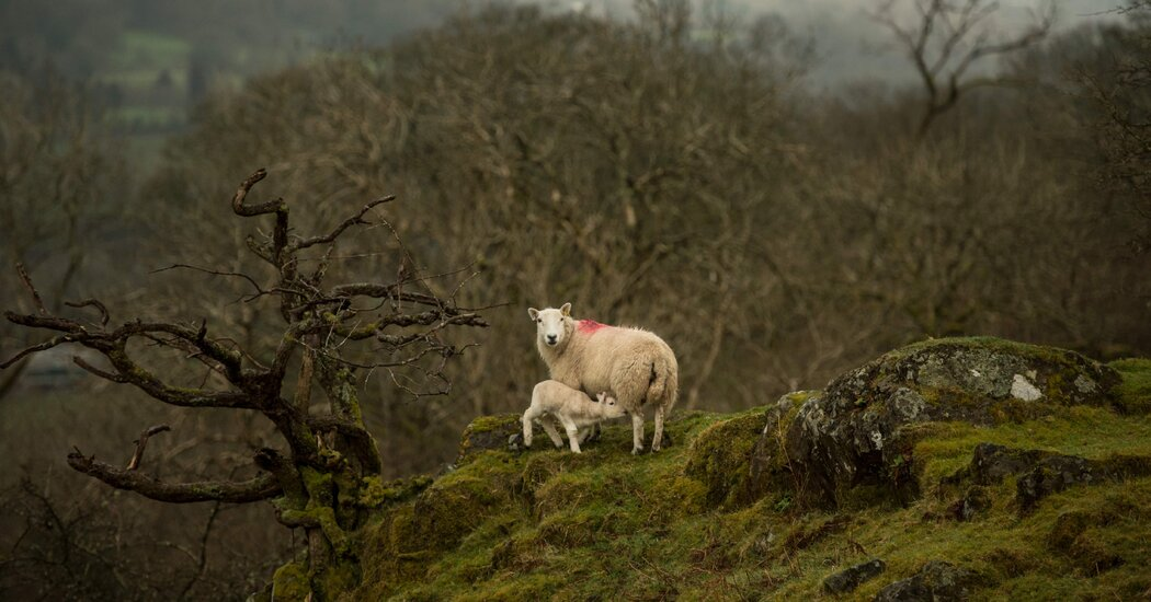 Assume Sustainability Is Easy? This Sheep Farmer Would Like a Phrase.